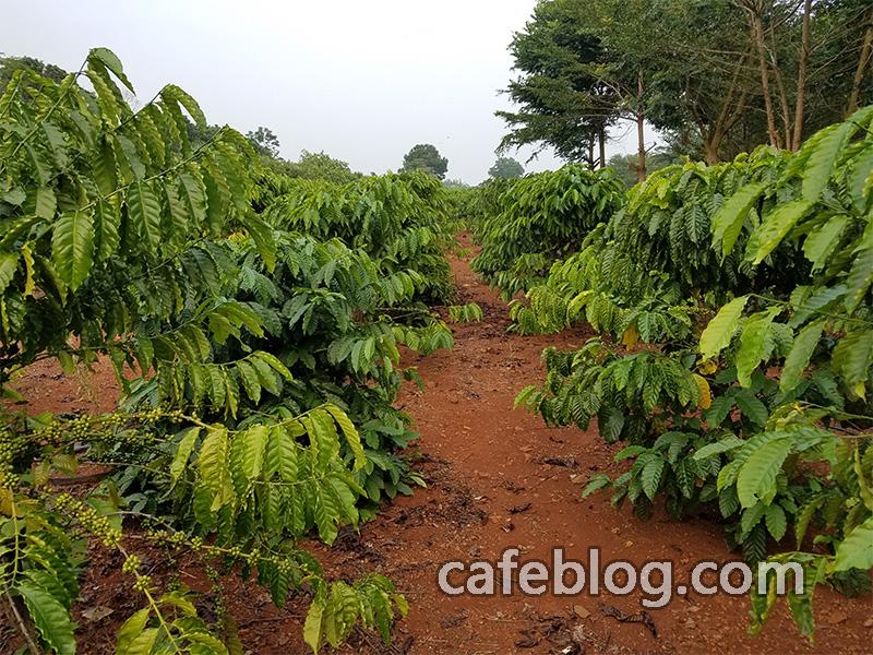 福山咖啡种植园